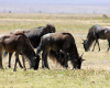 Wildebeest of the Ngorongoro Crater