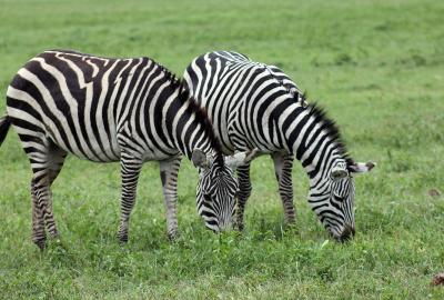 zebra in Masai Mara Kenya