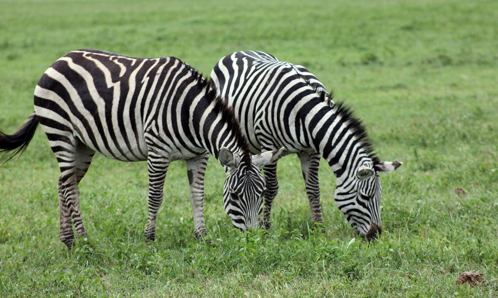 what is the color of a zebra