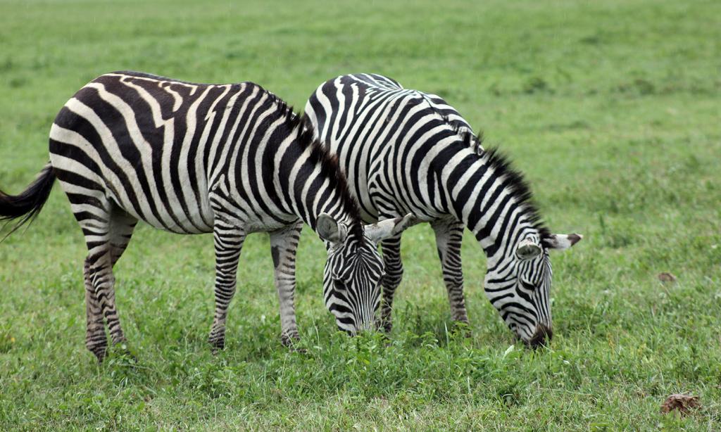 zebra in Ngorongoro Tanzania