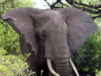 Elephant of Lake Manyara