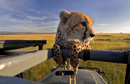 Masai-Mara-cheetah
