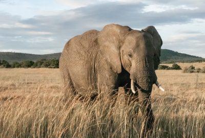 elephant bull