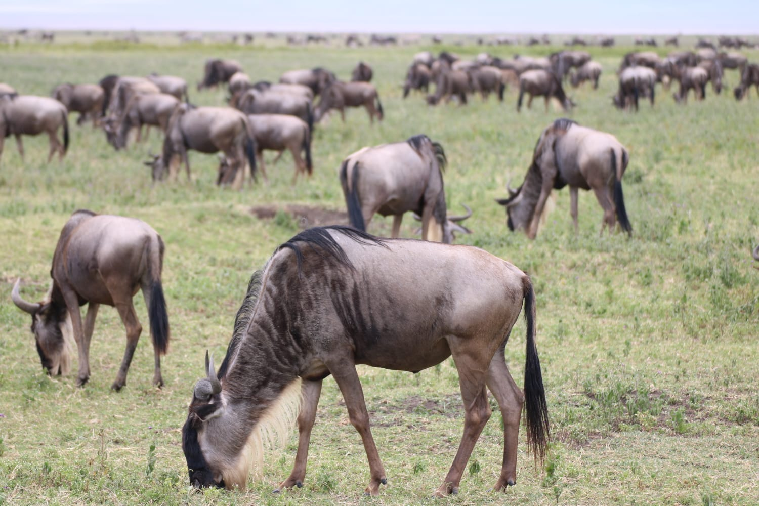 Wildebeest: Ngorongoro Crater