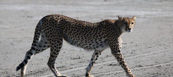 Karibu Africa Safaris: Cheetah walking