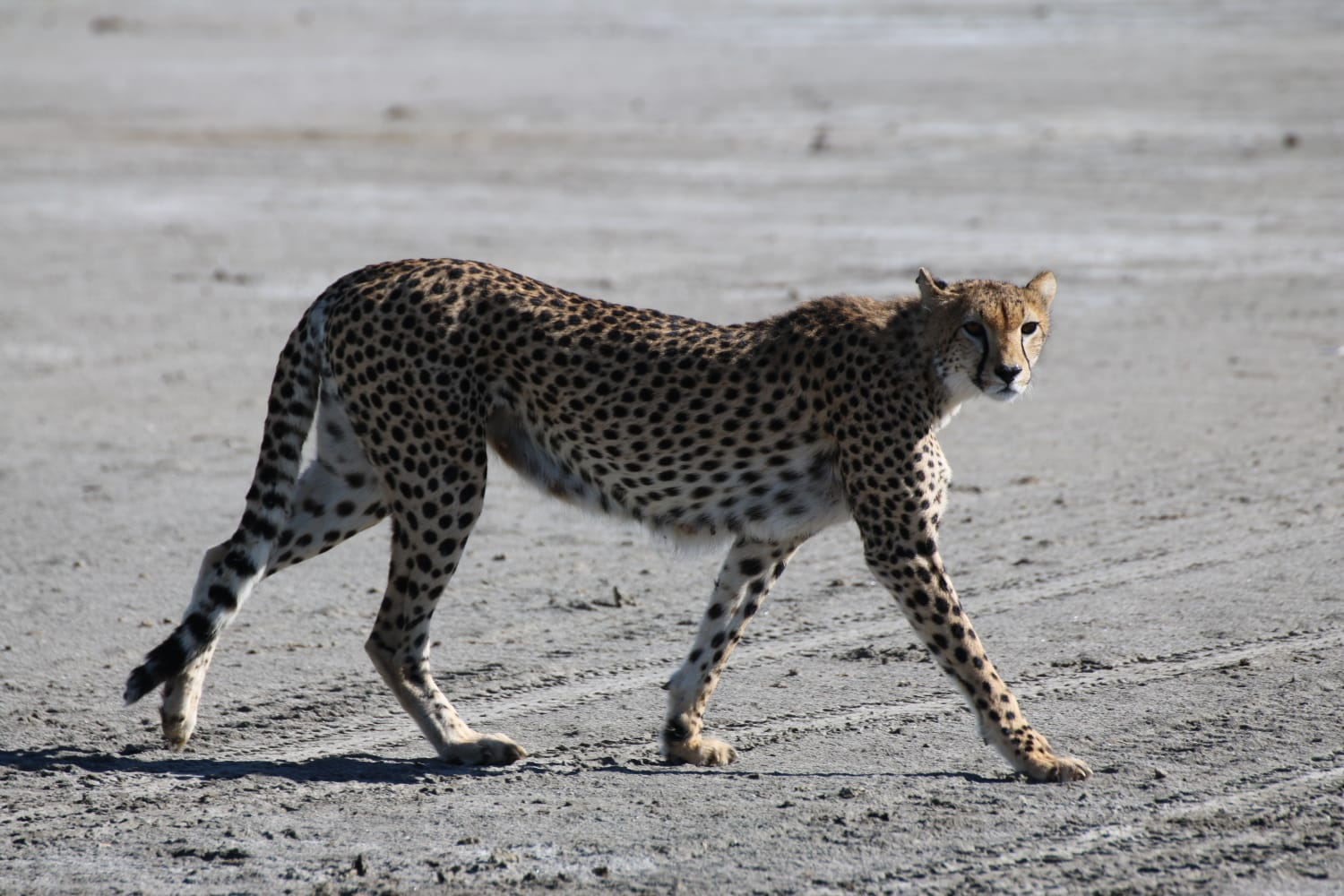 Karibu Africa Safaris: Cheetah walking