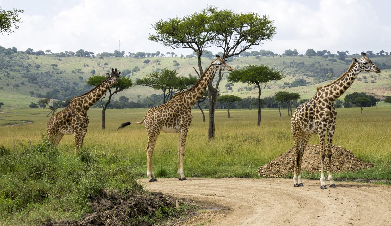 giraffe in tarangire