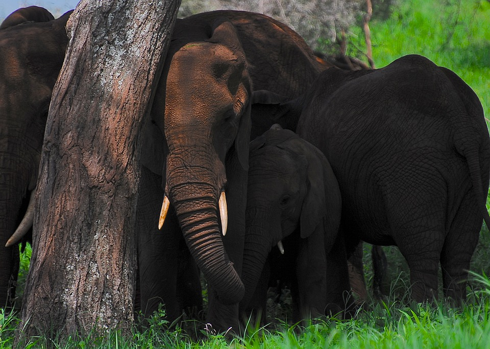 what is the elephant population in africa