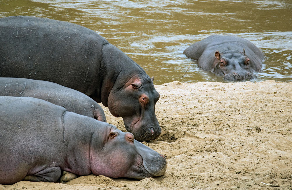 how many hippos are in africa