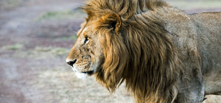 why is lion the king of the jungle