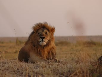 pulation of lions in africa