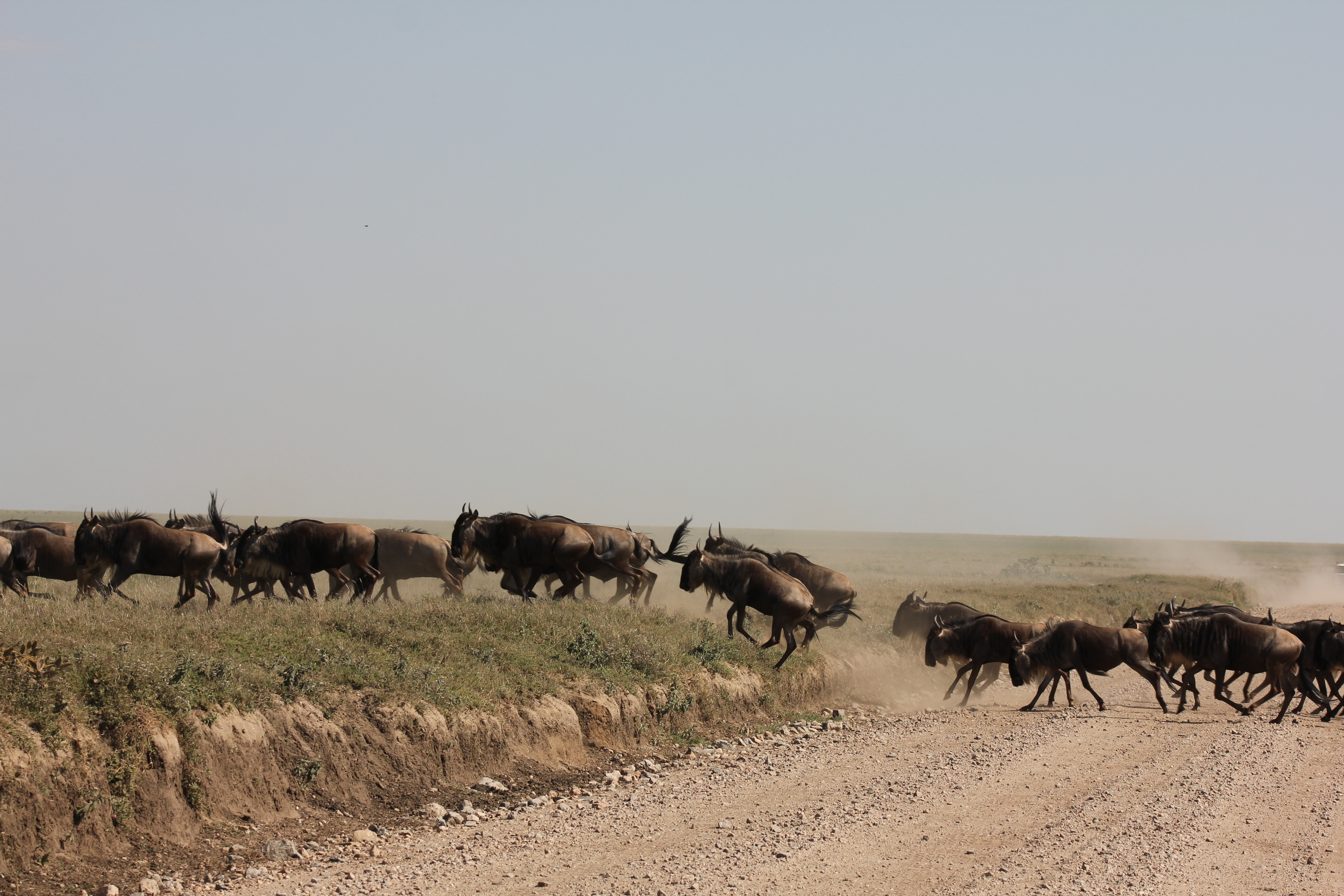 what time of the year is the wildebeest migration