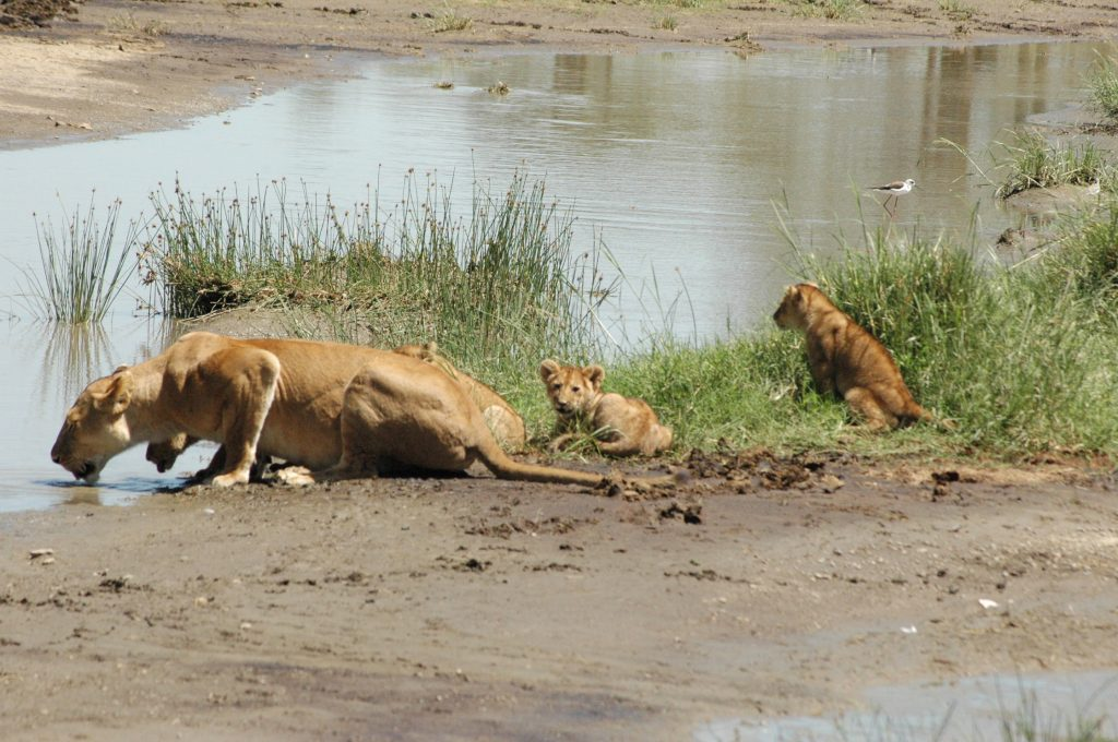 how many lions are in africa